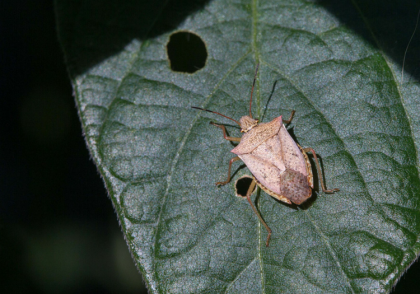 Ohio Field Leader Soybean Stink Bug Identification
