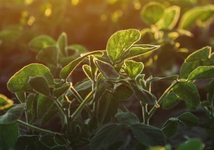 Ohio Field Leader Soybean Crop