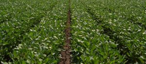 Field Leader Soybean Performance Plot Trial Highlights for 2018