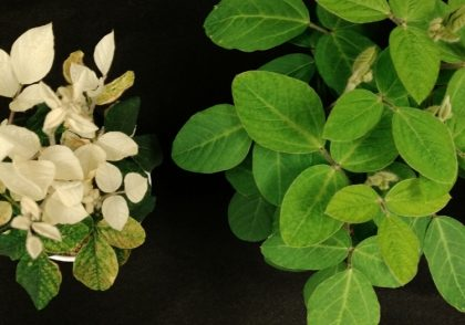 CRISPR and genetic technology with soybean at Ohio State University Feng Qu