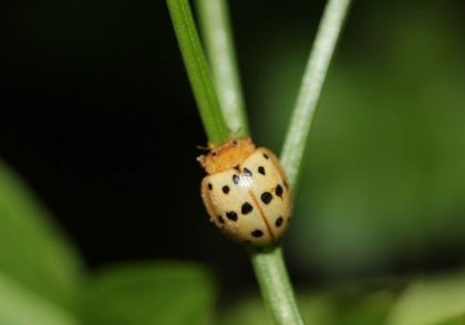 Field Leader Offers Tips for Managing Tough Ohio Pests Including Mexican Bean Beetles