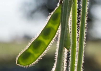 Soybean pod.
